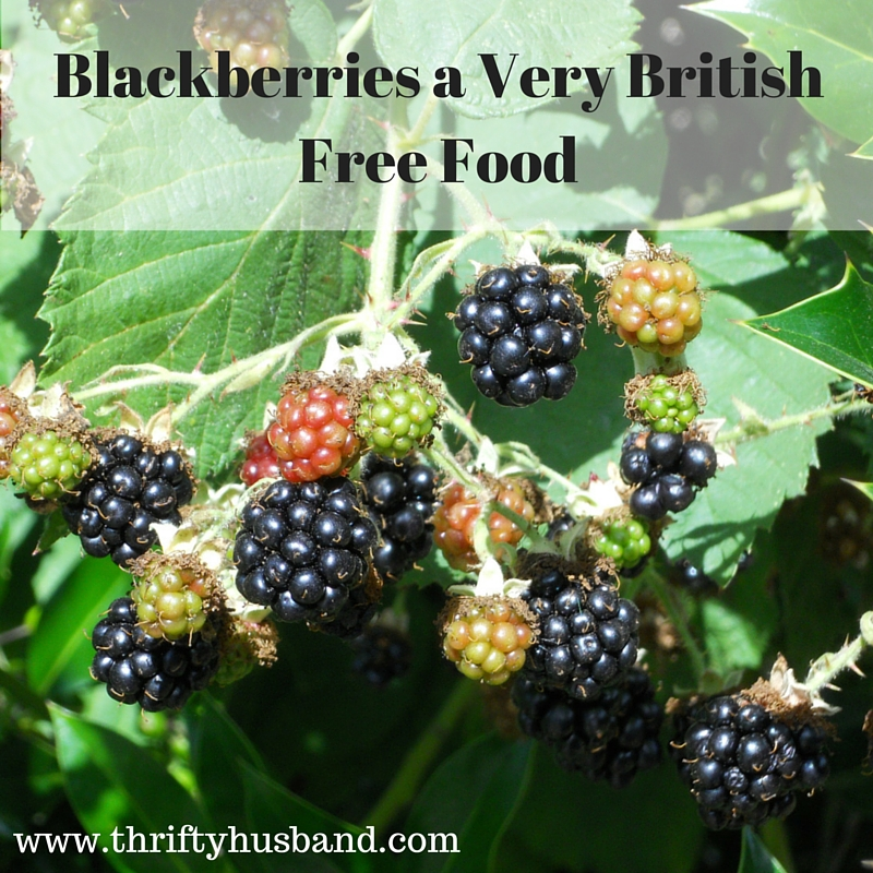 Blackberries a great thrifty food in the British countryside